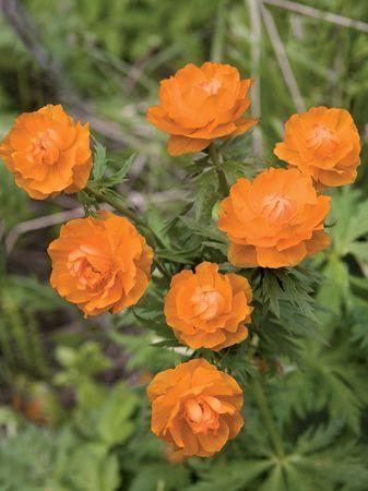 primroses: The Siberian primroses- Trollius asiaticus L
