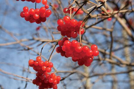 guelderrose: Red berries of a guelder-rose on a background of an autumn wood Stock Photo
