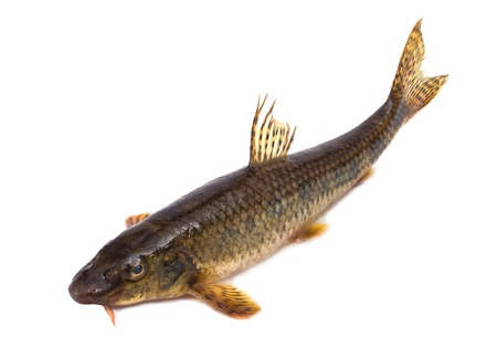 The gudgeon a fresh-water fish, it is isolated on a white background