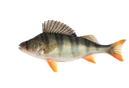 freshwater fish: Fish, perch - isolated on white background.  Stock Photo