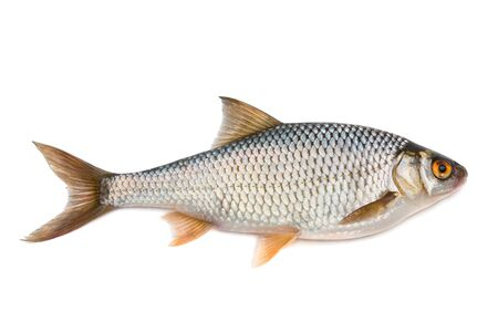 Vis roach - geïsoleerd op een witte achtergrond.