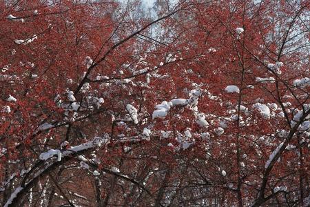 plentiful: Plentiful crop of small red wild apples Stock Photo