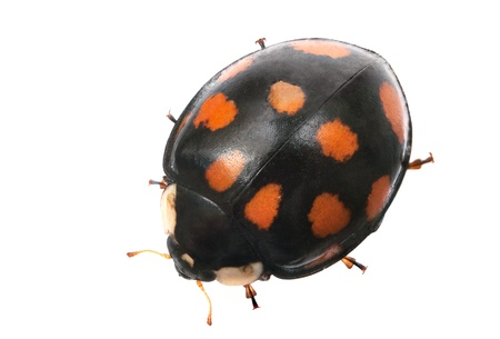 spotted: black with red spots ladybug isolated on white background