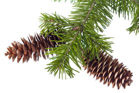 fir-cones on a branch isolated on white background  Stock Photo