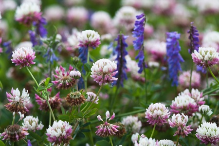 A large field of blooming clover Stock Photo - 11280810