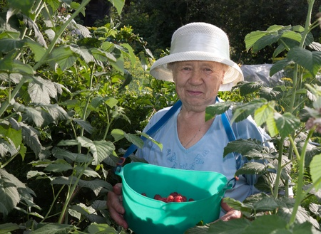 an elderly woman collects raspberries in the garden photo