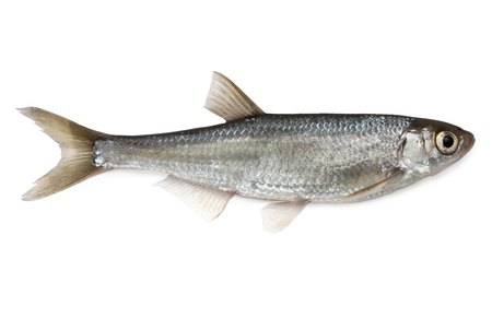 Fish Common Bleak - isolated on white background.