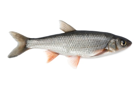 fish tail: Fish common dace - isolated on white background.