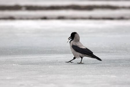 Grey crow on ice of the river with a fish  Stock Photo - 13093985