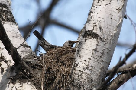 Fieldfare, Turdus pilaris, sitting in a nest in a tree photo