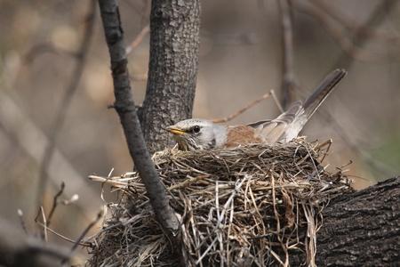 Fieldfare, (Turdus pilaris)  incubates eggs in her nest photo