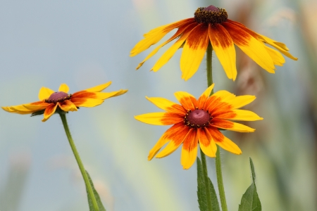 susan: Flowers and leaves of Rudbeckia (Black-Eyed Susan)   Stock Photo