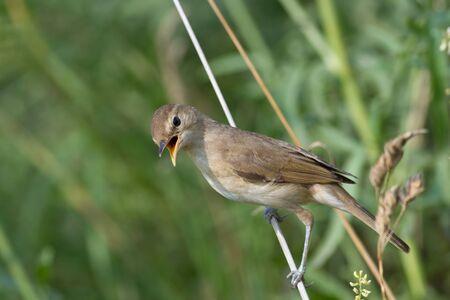 songbird: Songbird Flycatcher open mouth from the heat