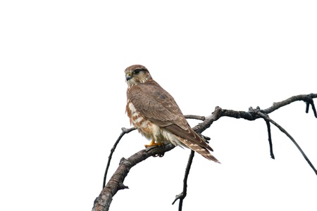 merlin: Merlin falcon female (Falco columbarius) on a branch - isolated on white background Stock Photo