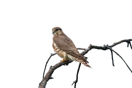 mago merlin: Mujer halc�n Merlin (Falco columbarius) en una rama - aislado en fondo blanco