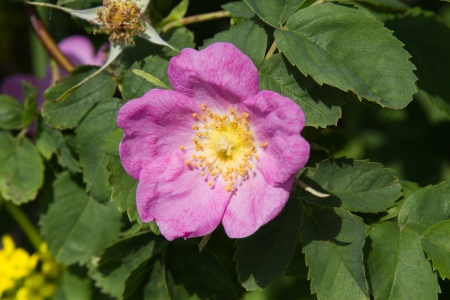 briar bush: dog rose flowers in the wild close-up.