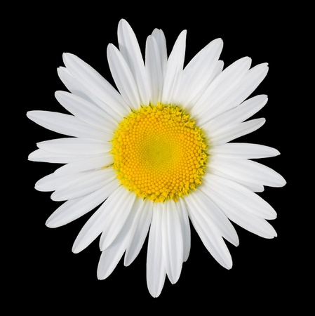 white daisy: Camomile isolated on a black background