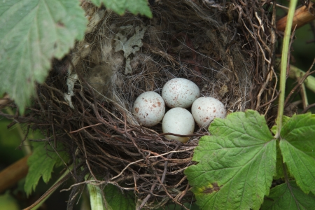 songbirds nest with four eggs