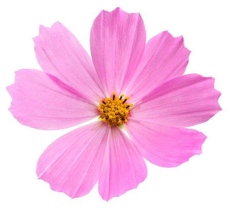 purple Cosmos flower isolated on white background