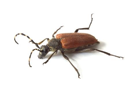 Longhorn beetle isolated on White Background Stock Photo - 21813062