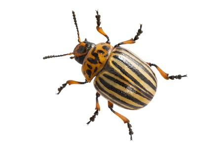 Colorado potato beetle isolated on a white background Stock Photo - 23180396
