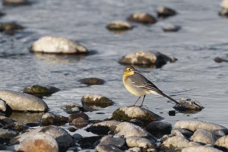 wagtail: yellow wagtail feeding near the water