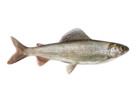 grayling: Habitante de r�os de corriente r�pida - Grayling, aislado en el fondo blanco