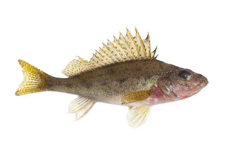 ruff fish isolated on white background photo