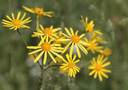 senecio: flowers Common Ragwort (Senecio jacobaea) Stock Photo