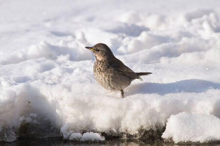 Fieldfare Turdus pilaris wintering in Russia in the south of Western Siberia photo