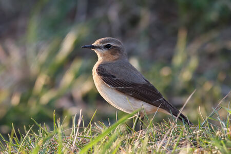 Wheatear (Oenanthe oenanthe) female is sitting in the grass photo
