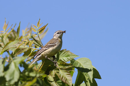 motacilla: femenino Lavandera boyera (Motacilla flava Lavandera) sentado en una rama