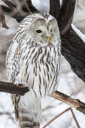 Ural owl sits on a tree in natural habitat photo