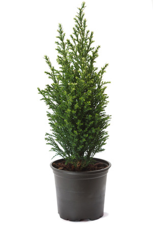 small flower: Thuja in a pot, isolated on white background