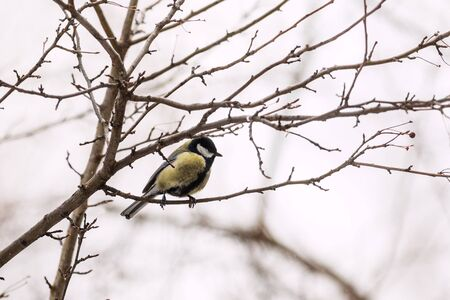 parus: Great Tit (Parus major) on a tree Stock Photo