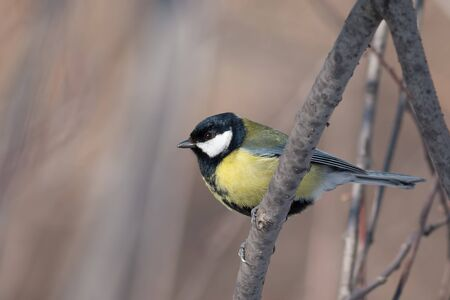 parus major: Great Tit (Parus major) on a tree Stock Photo