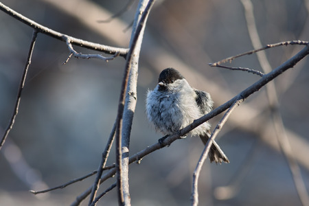 chickadee: Chickadee perched on a tree branch after swimming in a puddle