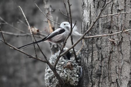breeding: Long-tailed Tit builds a nest for breeding Stock Photo