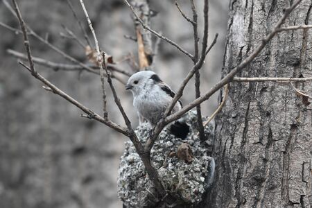 procreation: Long-tailed Tit builds a nest for breeding Stock Photo