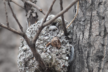 posterity: Long-tailed Tit builds a nest for breeding Stock Photo
