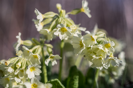 primula veris: Cowslip Primula veris at a shallow depth of field