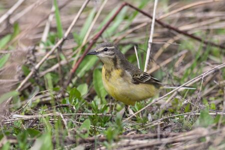 motacilla: female Yellow wagtail (Wagtail Motacilla flava) sitting on the grass Stock Photo