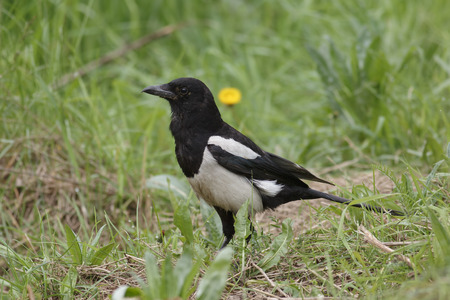 irritation: Magpie sitting in the green grass