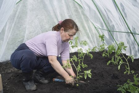 planted: Woman gardener seedlings are planted tomatoes in the greenhouse