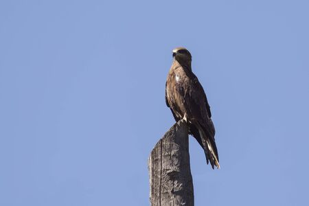 black kite: black kite perched on a dry tree stump