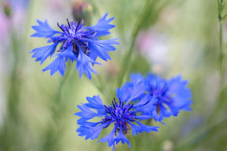 depth of field: blue cornflowers at a shallow depth of field