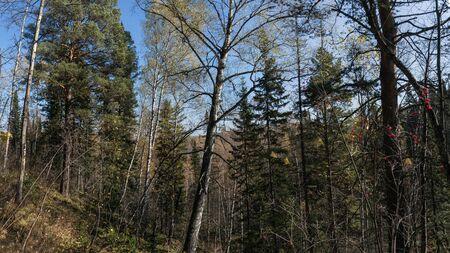 coniferous: Coniferous forest in the autumn