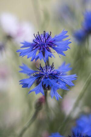 ramo de flores: acianos azules en una profundidad de campo
