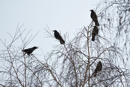 incubation: Rooks are sitting on the branches of a tree