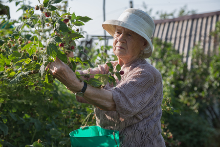 gathers: The grandmother at the age of 90 years gathers raspberry